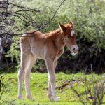 salt river wild horse management