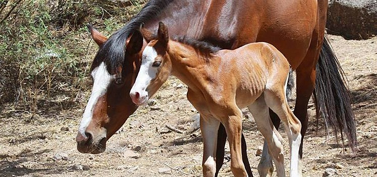 Arizona House Congressional leaders call for humane fertility control of Salt River wild horses