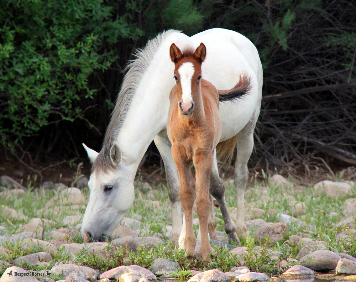 Annihilation of the Salt River wild horses temporarily halted, but removal still pending