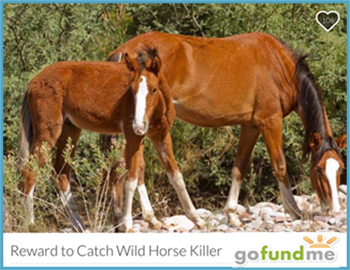 Reward Offered, Help From Public Sought in Salt River Wild Horse Shooting