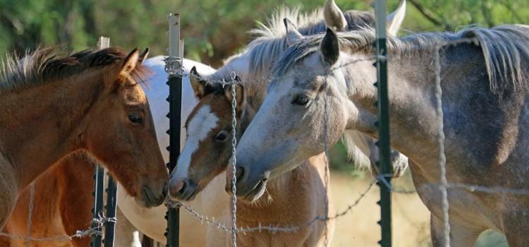 Salt River Wild Horses Still in Jeopardy