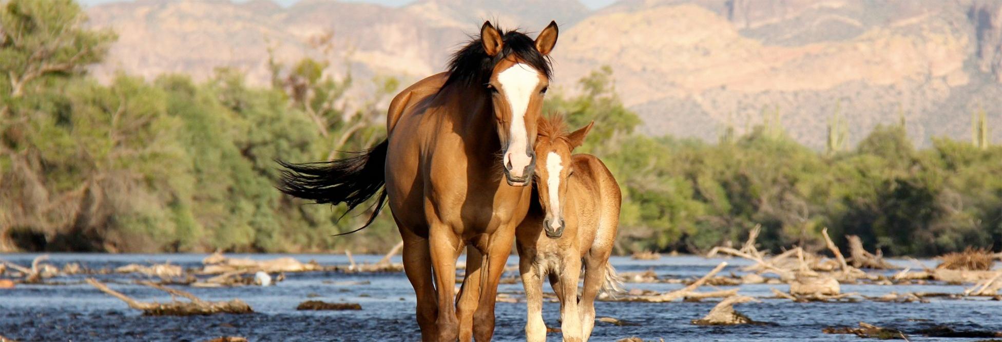 The Salt River Wild Horse Preservation Proposal