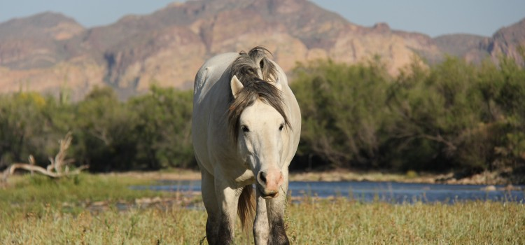 Forest Service to Withdraw Notice to Impound Salt River Horses
