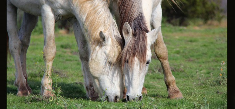 Annihalation of the Salt River wild horses temporarily halted but removal still impending