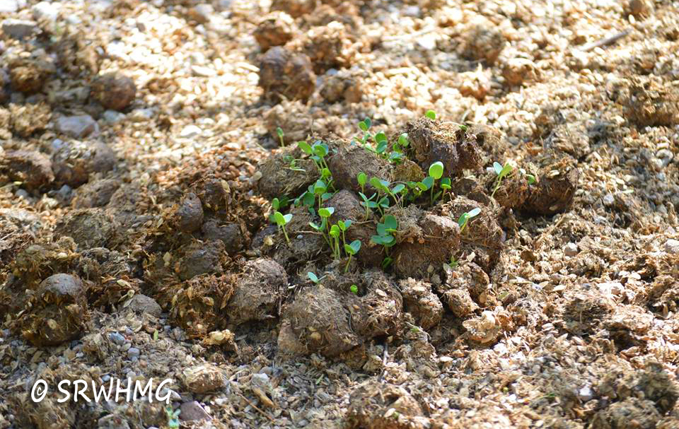 seedlings from manure copy