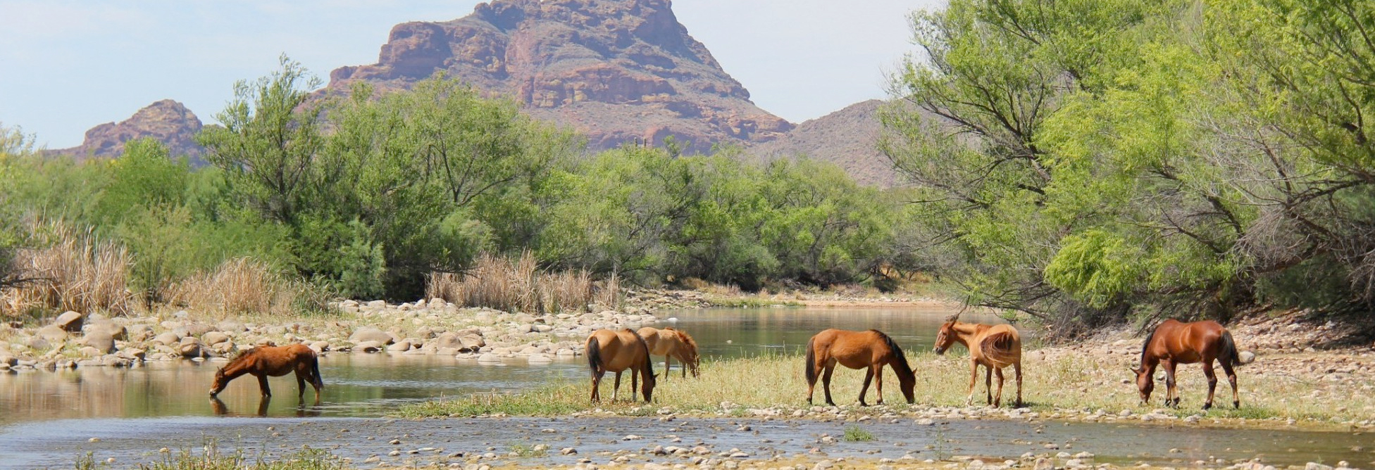 The Salt River Wild Horses are now Protected by AZ State Law.