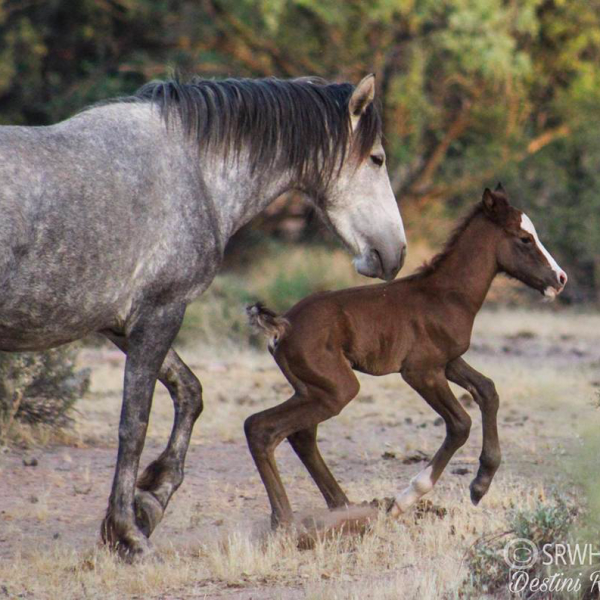 contribute to the salt river wild horses