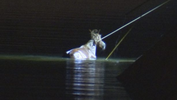 horse rescued from river SRWHMG