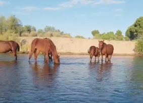 Glimpse into the Peaceful Lives of the Salt River Wild Horses