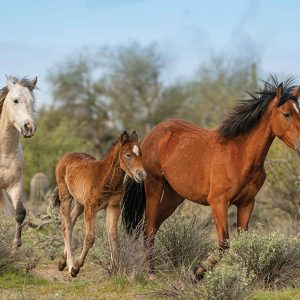Salt River Wild Horse Greeting Cards – 4 Pack